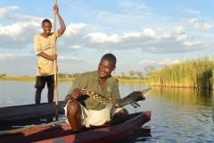 Okavango - Crocodile Caught in a Fish Trap