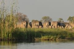 Okavango - Zebra