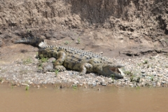 Crocodile in the Maasai Mara