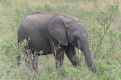 Maasai Mara - Baby Elephant