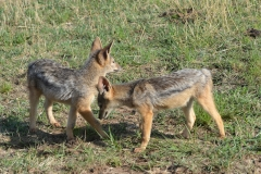 Maasai Mara - Black Backed Jackal Cubs