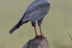 Maasai Mara - Buzzard