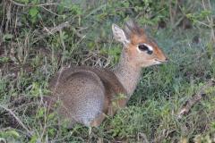 Maasai Mara - Dikdik