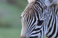 Maasai Mara - Portrait of a Young Zebra