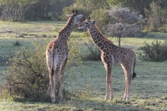 Maasai Mara - Two Giraffe
