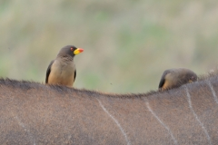 Maasai Mara - Yellow Billed Oxpeckers on an Eland