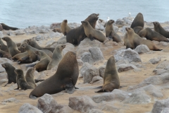 Cape Cross - Fur Seals
