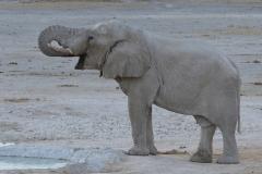 Etosha - Elephant Drinking