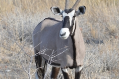 Etosha - Gemsbok Looking Right