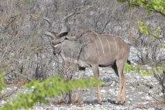 Etosha - Kudu in Thick Bush