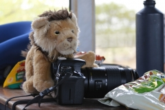 Etosha - Lion and Camera