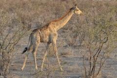 Etosha - Pale Giraffe