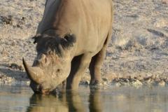 Etosha - Rhino Drinking