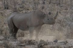 Etosha - Rhino Kicking Up Dust