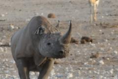 Etosha - Rhino and Springbok