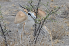Etosha - Springbok and Thorn Tree