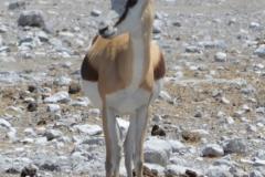 Etosha - Springbok