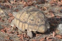 Etosha - Tortoise
