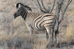 Etosha - Zebra - Double Stripes