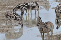 Etosha - Zebra Drinking