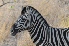 Etosha - Zebra Head