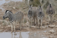 Etosha - Zebra at the Waterhole