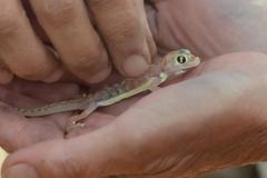 Swakopmund - Nocturnal Lizard