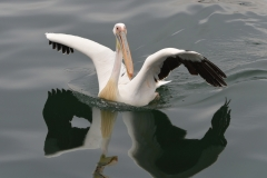 Walvis Bay - A Pelican Lands on the Water