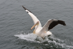 Walvis Bay - Pelican Making a Splash