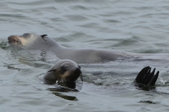 Walvis Bay - Seals at Sea
