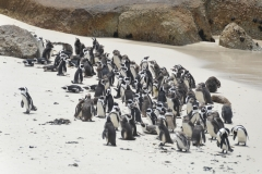 African Penguines at Boulders