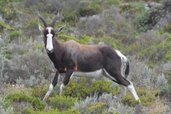 Bontebok on the Cape Peninsula