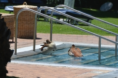 Mount Nelson Hotel - Ducks Using the Pool