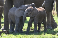 Serengeti - Baby Elephants