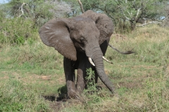 Serengeti - Elephant Having a Mud Bath