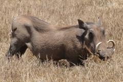 Serengeti - Warthog