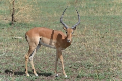 Serengeti - Young Impala