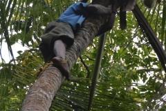 Zanzibar - Coconut Harvesting