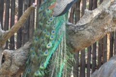 Zanzibar - Prison Islan Peacock