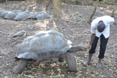 Zanzibar - Prison Island Tortoise