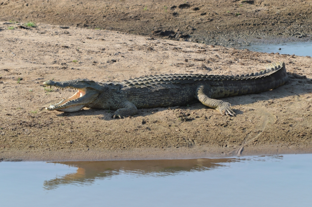 South Luangwa - Crocodile