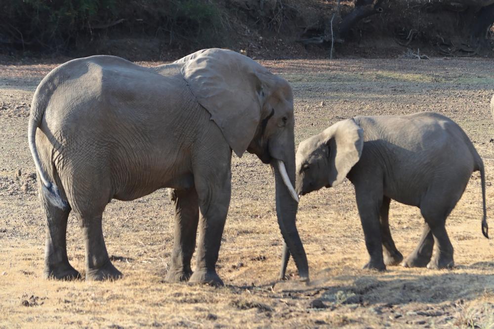 South Luangwa - Elephants