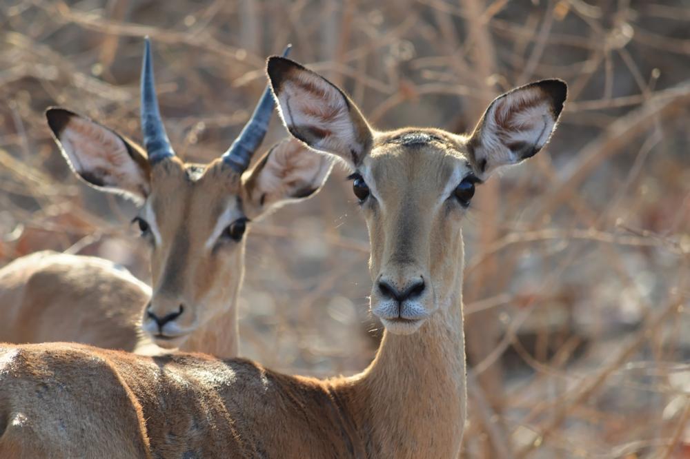 South Luangwa - Impala