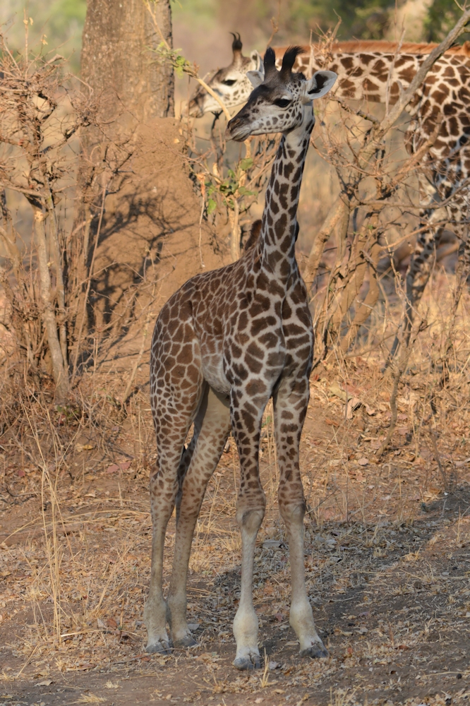 South Luangwa Young Giraffe