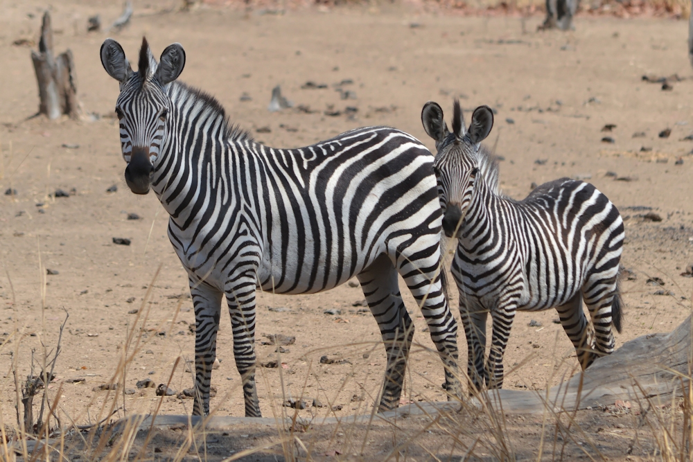 South Luangwa - Young Zebra
