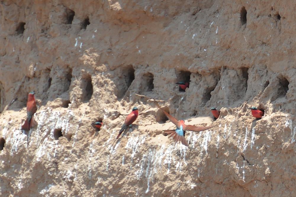 Zambezi - Carmine Bee-Eaters Nesting