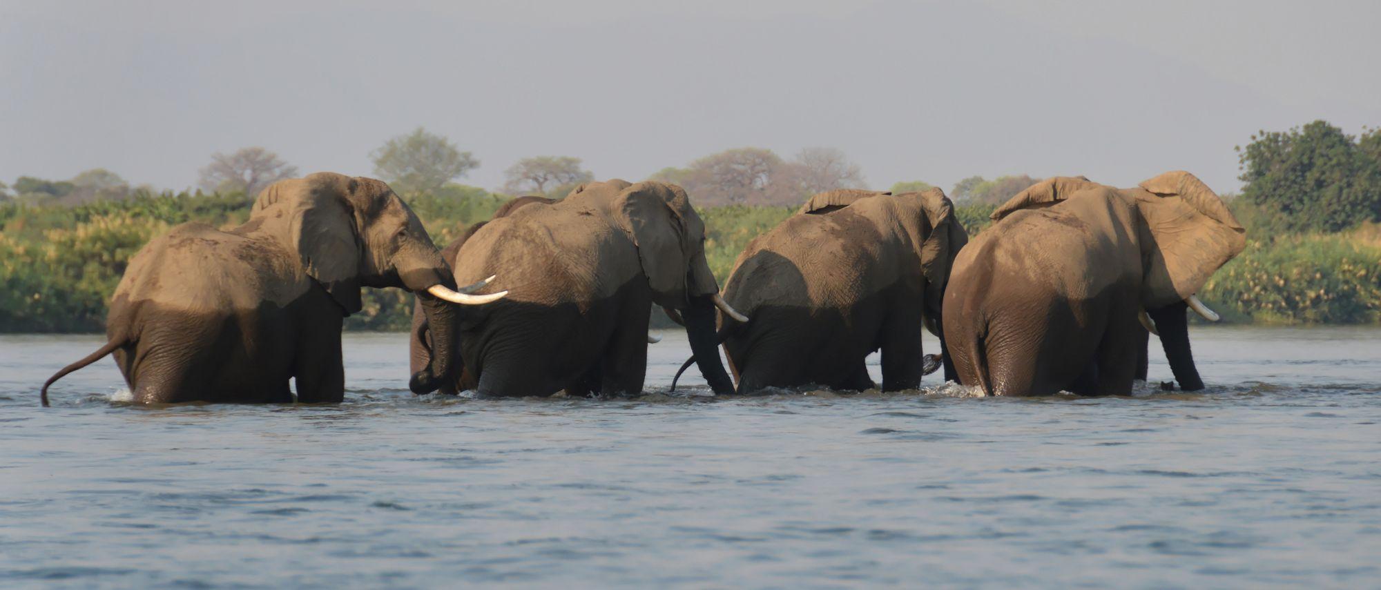 Zambezi - Elepants in the River