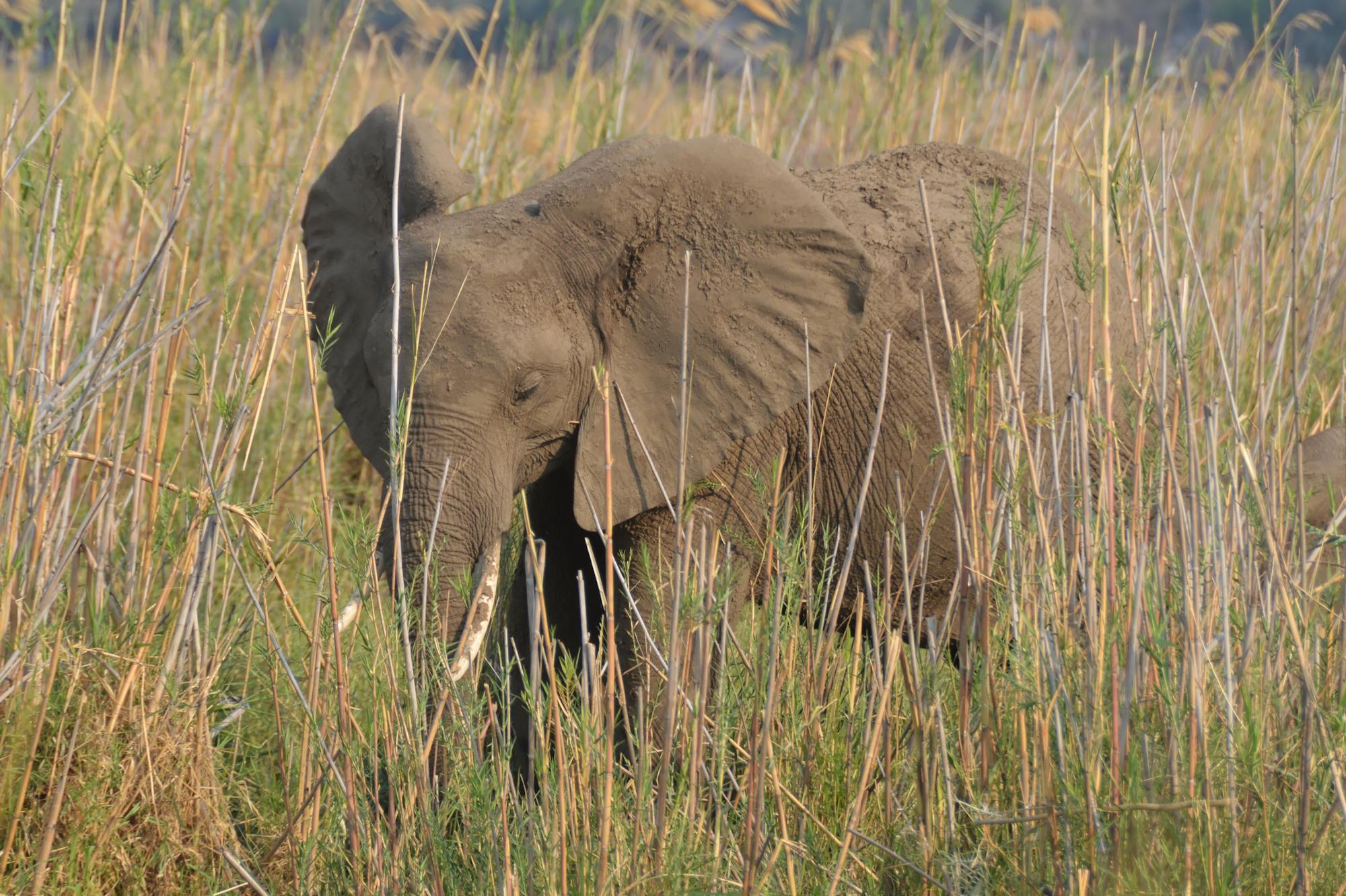 Zambezi - Elephany Near the Camp Site