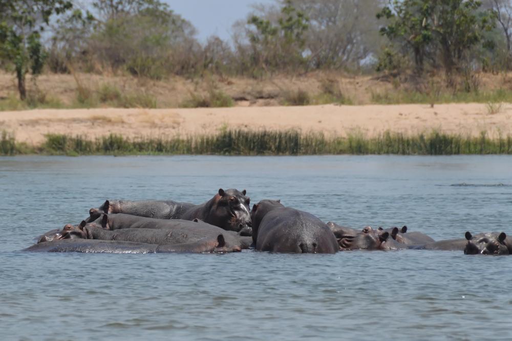 Zambezi - Hippo