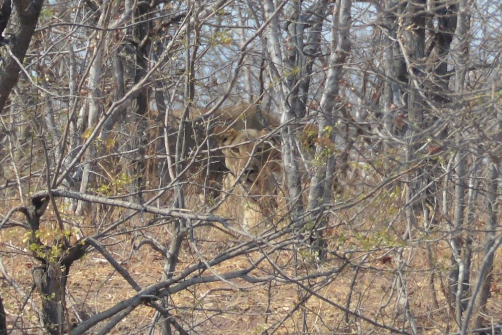 Zambezi - Lioness Waiting for us to Move On